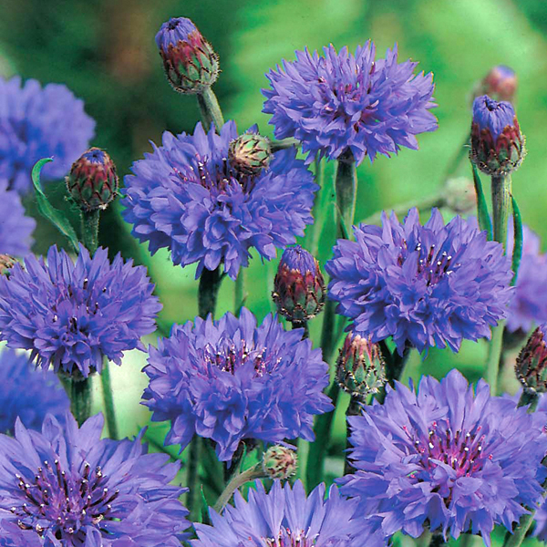 Cornflower Blue Ball Plants From Mr Fothergills Seeds And