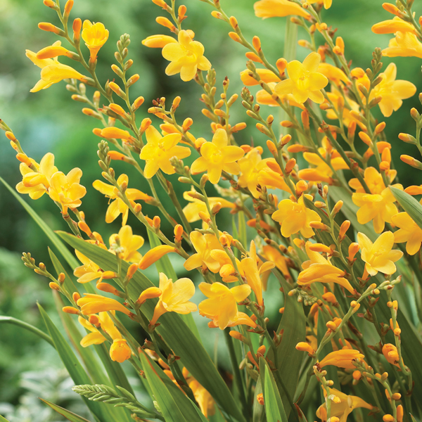 Crocosmia Honey Angels Plant from Mr Fothergills Seeds and Plants
