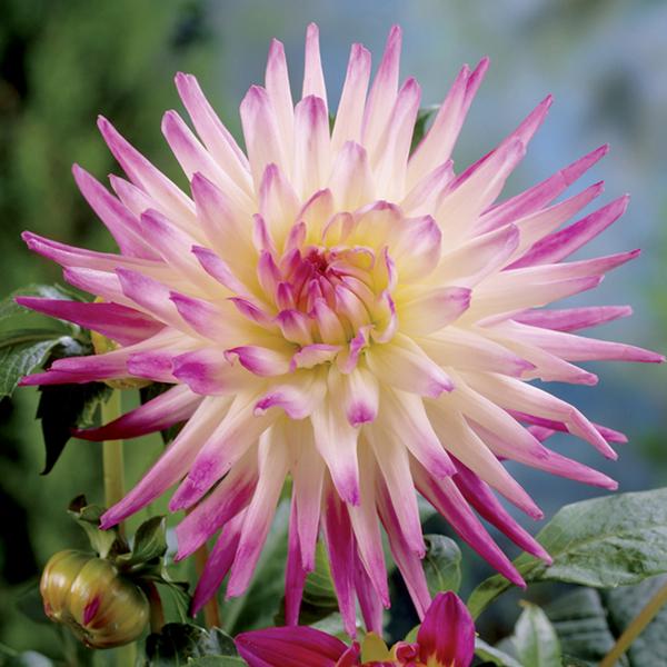 How to Grow Dahlias  Overwintering Dahlias  Gardeners