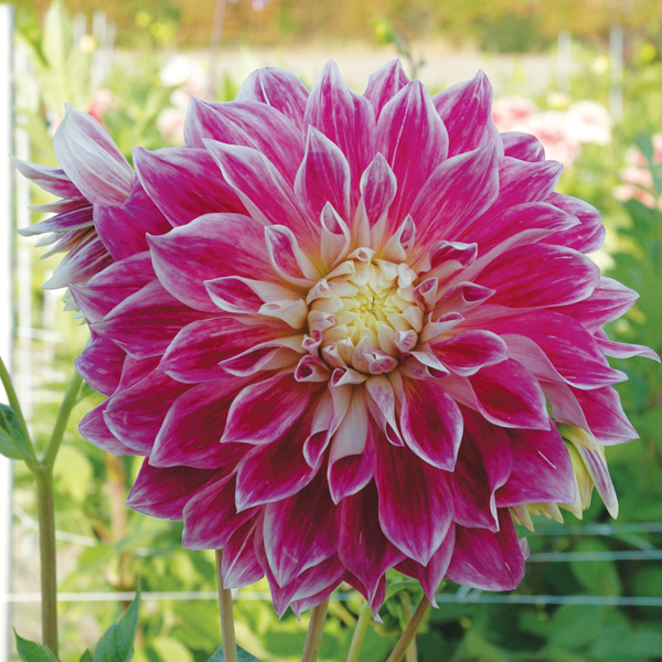 Dahlia Purple Explosion Plant from Mr Fothergill's Seeds ...