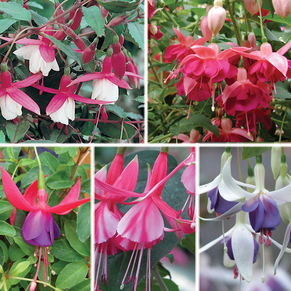 Fuchsia hardy bush type plant collection from mr fothergill 39 s seeds and plants - Hardy houseplants ...