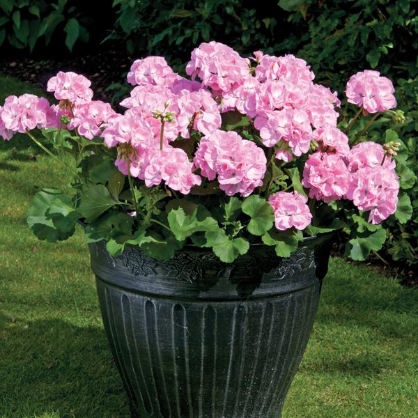 Geranium designer series light pink plants from mr fothergills geranium designer light pink flower plants mightylinksfo