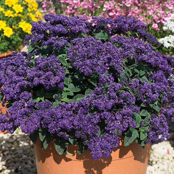 Heliotrope Marino Blue Plants from Mr Fothergill's Seeds ...