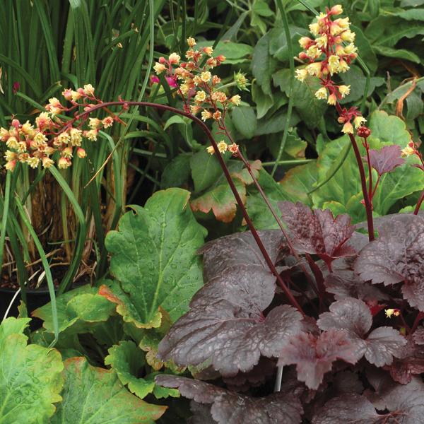 Heuchera Gotham Plants from Mr Fothergills Seeds and Plants