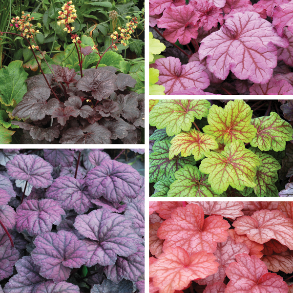 Heuchera Plant Collection from Mr Fothergills Seeds and Plants