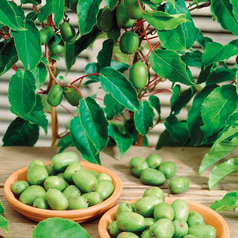 kiwi arguta issai plant from mr fothergill 39 s seeds and plants. Black Bedroom Furniture Sets. Home Design Ideas