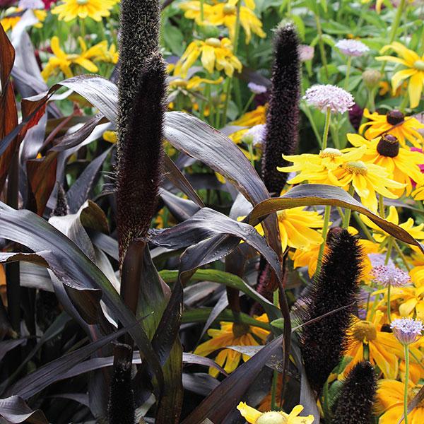 Ornamental Millet Purple Baron Plants From Mr Fothergill S
