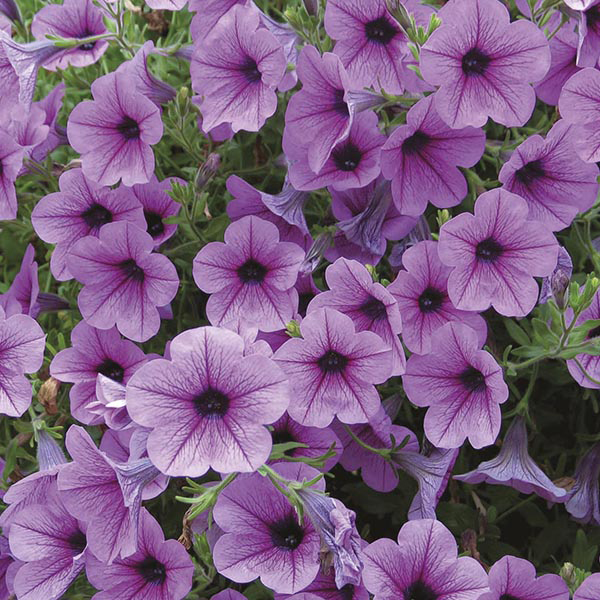 Petunia surfinia rose vein plants from mr fothergill 39 s for Petunia surfinia