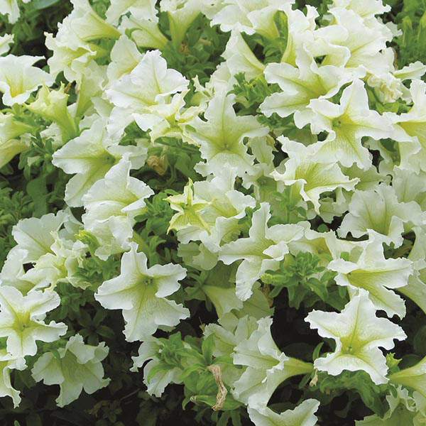 Petunia surfinia lime plants from mr fothergill 39 s seeds for Petunia surfinia