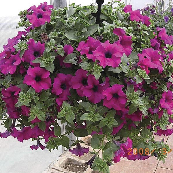 Petunia surfinia purple plants from mr fothergill 39 s seeds for Petunia surfinia