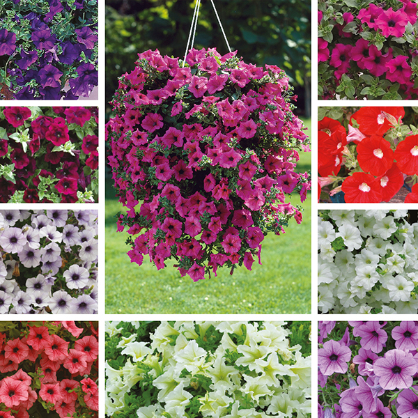 Petunia surfinia plant collection from mr fothergill 39 s for Petunia surfinia