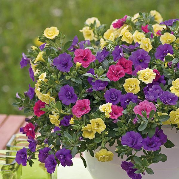 Trixi calibrachoa petticoat plants from mr fothergill 39 s - Calibrachoa trixi ...