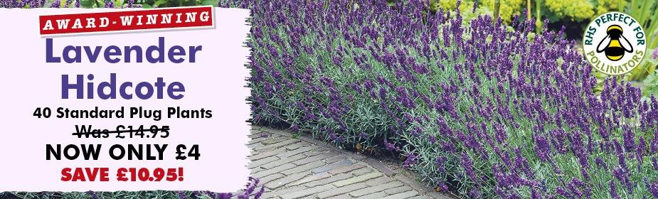 Lavender Hidcote £4 - SAVE £10.95!