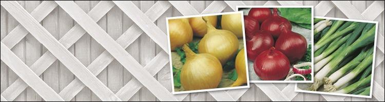 Onion & Shallot Seeds