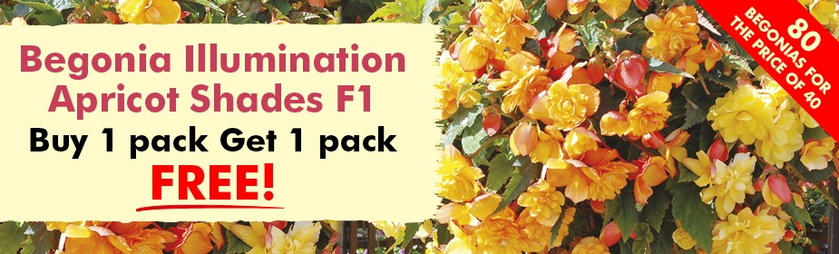 Buy 1 Pack get 1 FREE on Begonia Illumination Apricot Shades