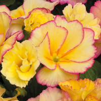 More bulbs, bigger plants and exclusive Primrose feature in Mr Fothergill's Autumn Catalogue