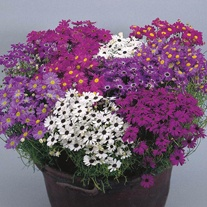 Swan River Daisy Dwarf Bravo Mixed Seeds