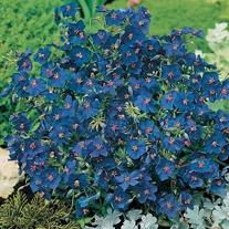 Anagallis Gentian Blue Seeds