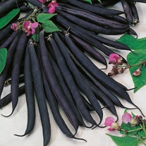 Dwarf Bean Purple Queen Seeds