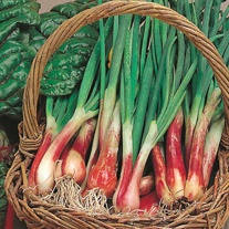 Onion (Spring) North Holland Blood Red Seeds