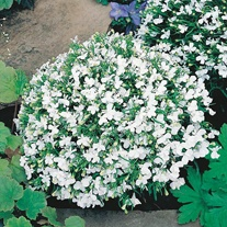 Lobelia White Lady Seeds