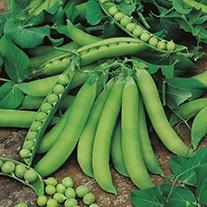 Pea Jaguar (Second Early) Plants