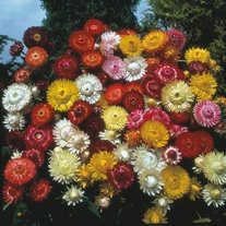 Helichrysum Kingsize Mixed