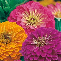 Zinnia Jazz Seeds