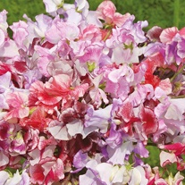 Sweet Pea Ripple Mixed Seeds