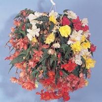 Begonia Illumination Mixed F1 Seeds
