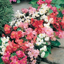 Begonia Mr F's Special Mixed F1 Seeds
