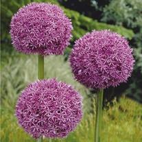 Allium giganteum Seeds