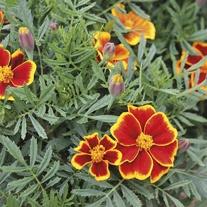 Marigold (French) Red Marietta Seeds