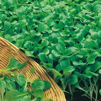Seed Collection Salad Leaves Easy