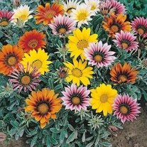 Gazania Talent Mix Seeds