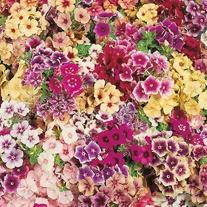 Phlox Tapestry Seeds