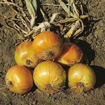 Onion Ailsa Craig (Prizewinner) Seeds