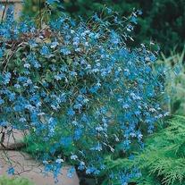 Lobelia Cascade Blue Seeds