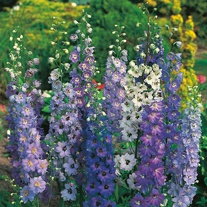 Delphinium Pacific Giants Mixed
