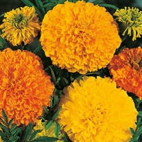 Marigold (African) Crackerjack Mixed Seeds