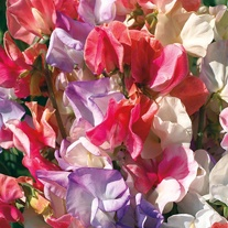 Sweet Pea Incense Mixed Seeds