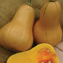 Squash (Butternut) Hawk F1 Seeds
