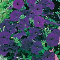 Petunia Mirage Midnight F1 Seeds