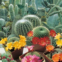 Cactus Flowers of the Desert