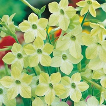 Nicotiana Lime Green Seeds