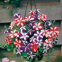 Petunia Stars & Stripes Mixed F1 Seeds