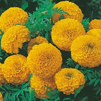 Marigold (African) Sunspot Series Gold Seeds
