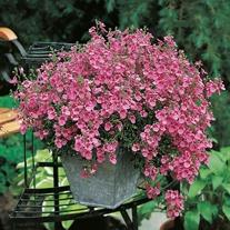 Diascia Pink Queen Seeds
