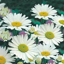 Chrysanthemum Shasta Daisy Alaska Seeds