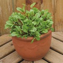 Salad Leaves Chard Rhubarb Charlotte